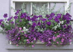 brotchie-lynne-window-box-with-pelargoniums-argyranthemum-lobelia