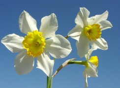 daffodils_white_wallpaper-normal